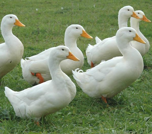 Korisni savjeti o uzgoju pataka