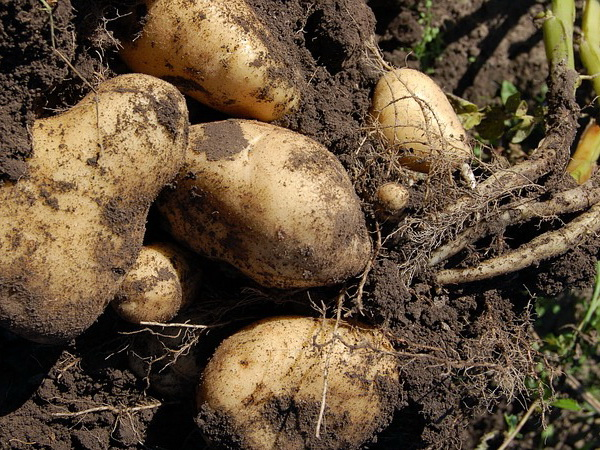 Zaštita krompira u organskoj proizvodnji
