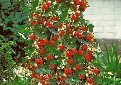 Osmičić Mersed – Uzgoj jagoda u zimskim mjesecima