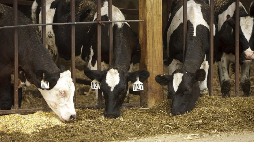 Čime hraniti krave u zimskom razdoblju?