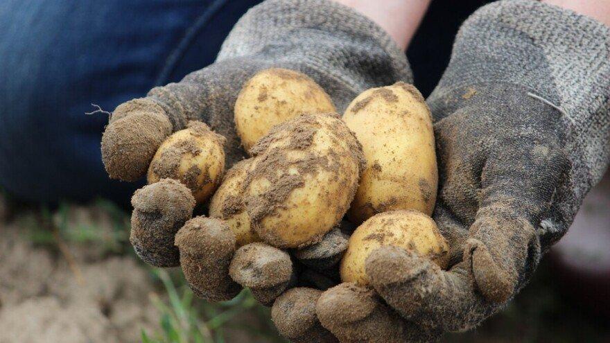 Korisne biljke u vašem vrtu koje potiču rast krompira