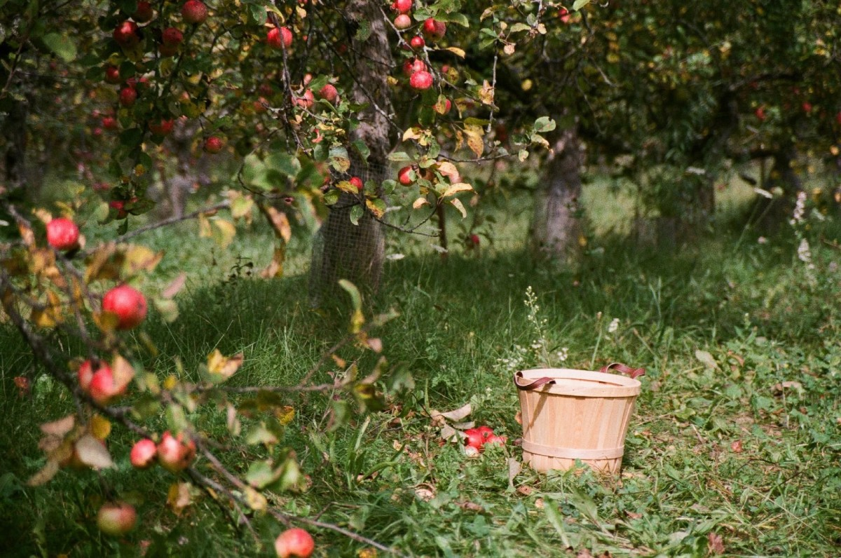 Koja gnojiva koristiti u voćnjaku nakon berbe?