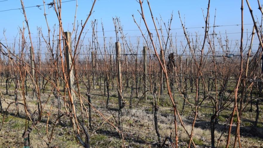 Priprema tla za podizanje vinograda čini proizvodnju isplativijom